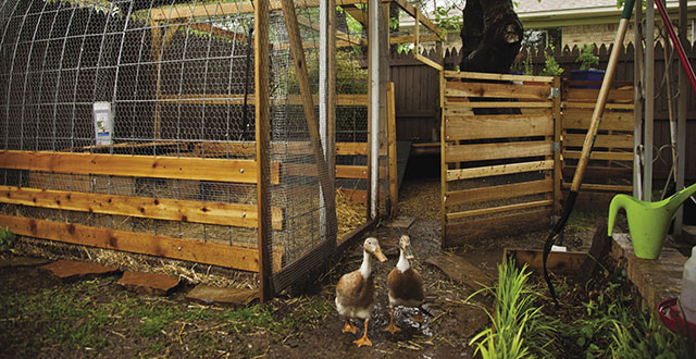 Even the neighborhood bobcats can't find a way into the McKibben duck coop.