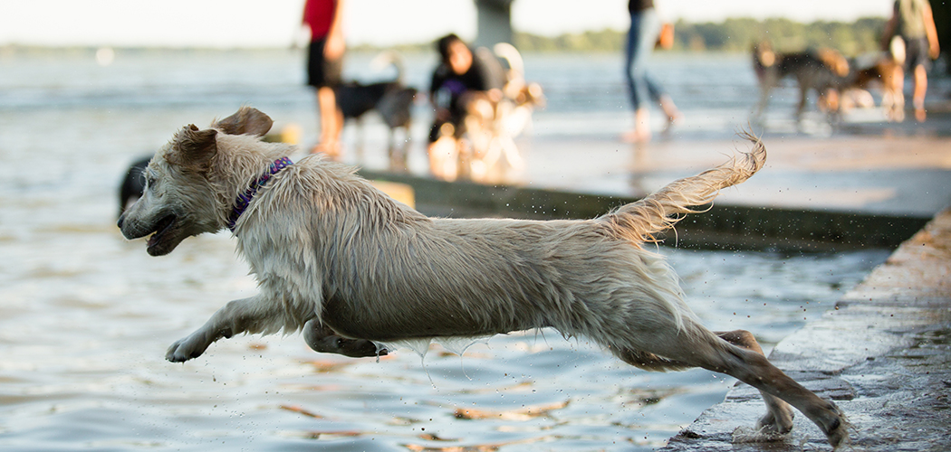 Nala, a 5-month old golden retriever, leaps for a ball at the White Rock Dog Park. (Photo by Rasy Ran)