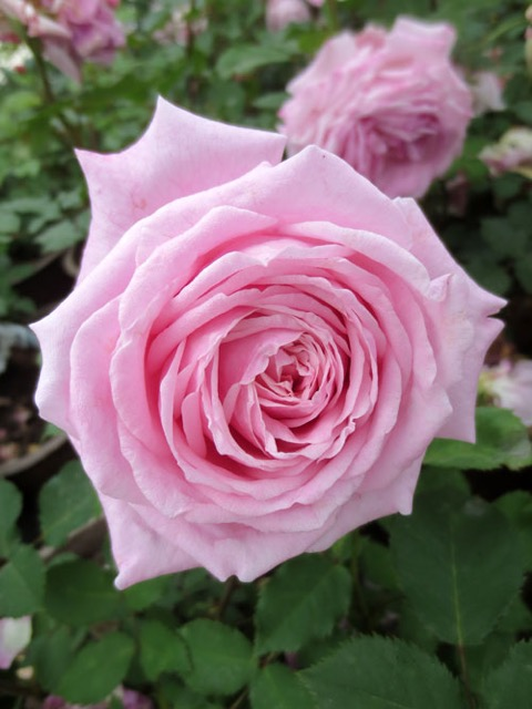 Belinda's Dream rose. (Image courtesy of David Austin Roses)