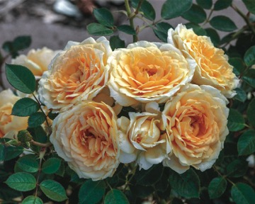 Edith's Darling roses. (Photo courtesy of David Austin Roses)