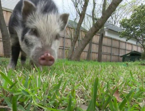 Who poisoned Wilbur, the State Fair of Texas' petting zoo pig?