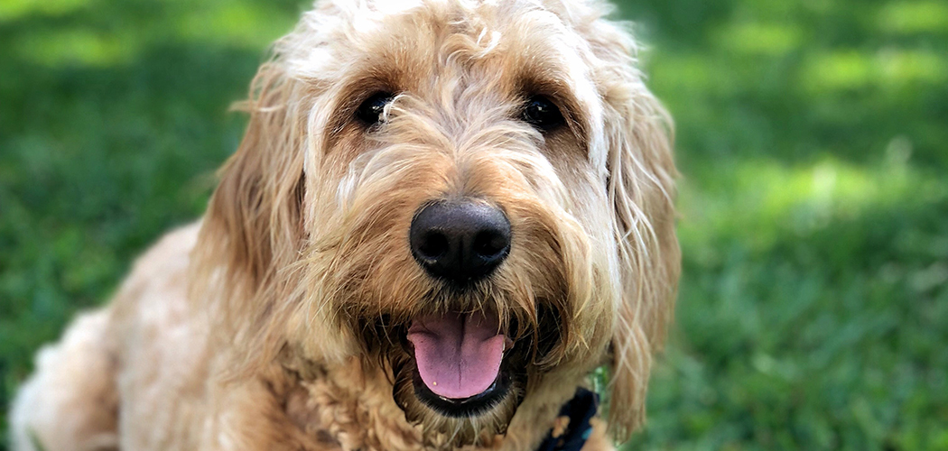 Mambo is a three-year-old Goldendoodle
