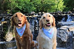 Two dogs in bandanas sit by waterfall.