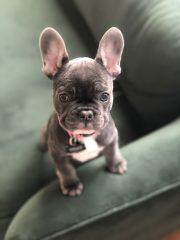 Tilly The French Bulldog Puppy Is