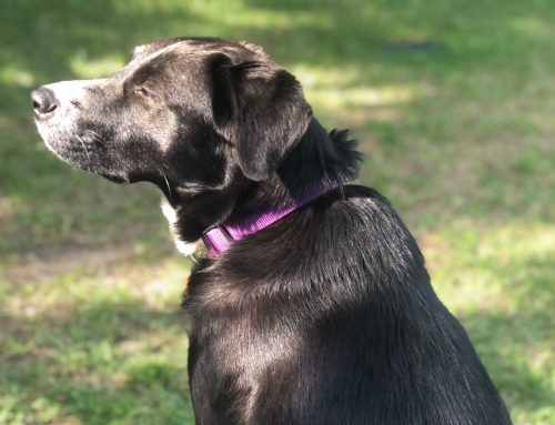 How wandering lab Gypsy finally found her furever home