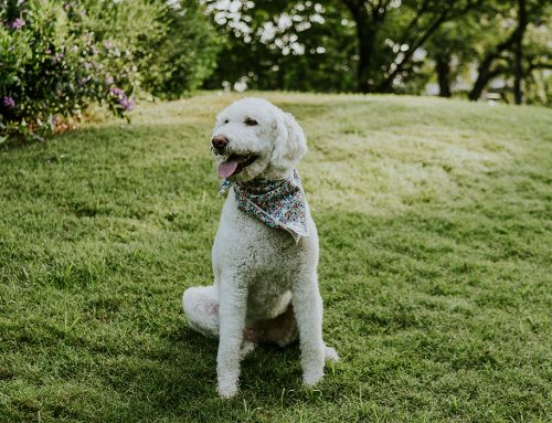 Stop and say hello to Penny Lane, the cutest labradoodle in Lakewood